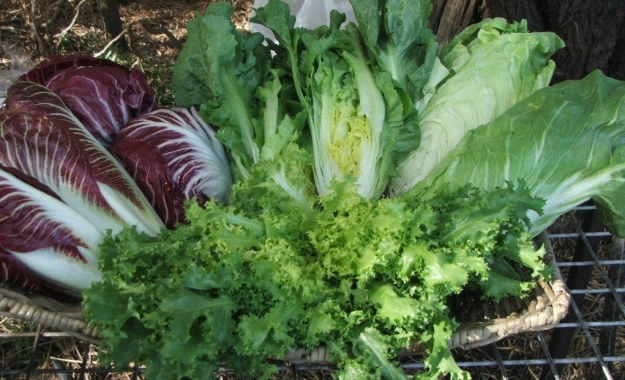 The chicory family:  (clockwise from LHS) Treviso chicory, scarole, sugarloaf chicory, frisee.