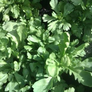Edible chrysanthemum (shungiku)