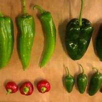 Anahiem, poblano, jalapeno, cherry chillies