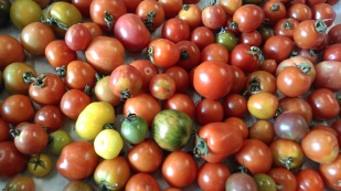 Large colourful cherry tomatoes.