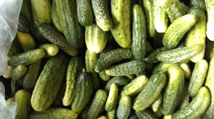 Pickling cucumbers.