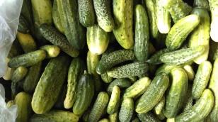 Pickling cucumbers.